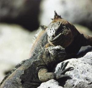 marine_iguana_300_286